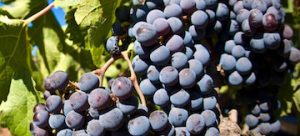 grapes and polyphenols